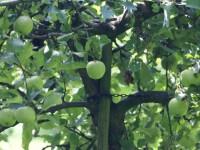 Appels in de bongerd